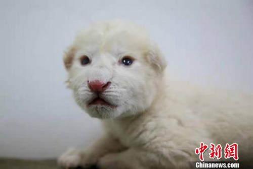 濟南雙胞胎白獅通體雪白 成長狀況良好