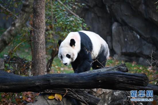 """结束旅美生涯 大熊猫""""贝贝""""启程回国"""