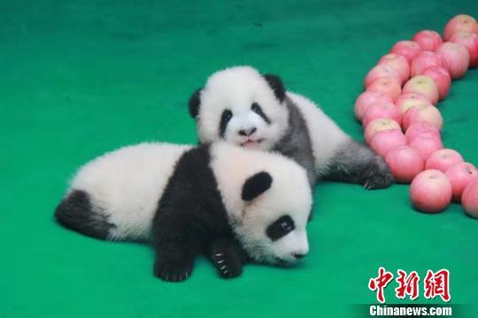 """熊猫幼仔集体亮相 """"成浪""""体重已达5040克"""
